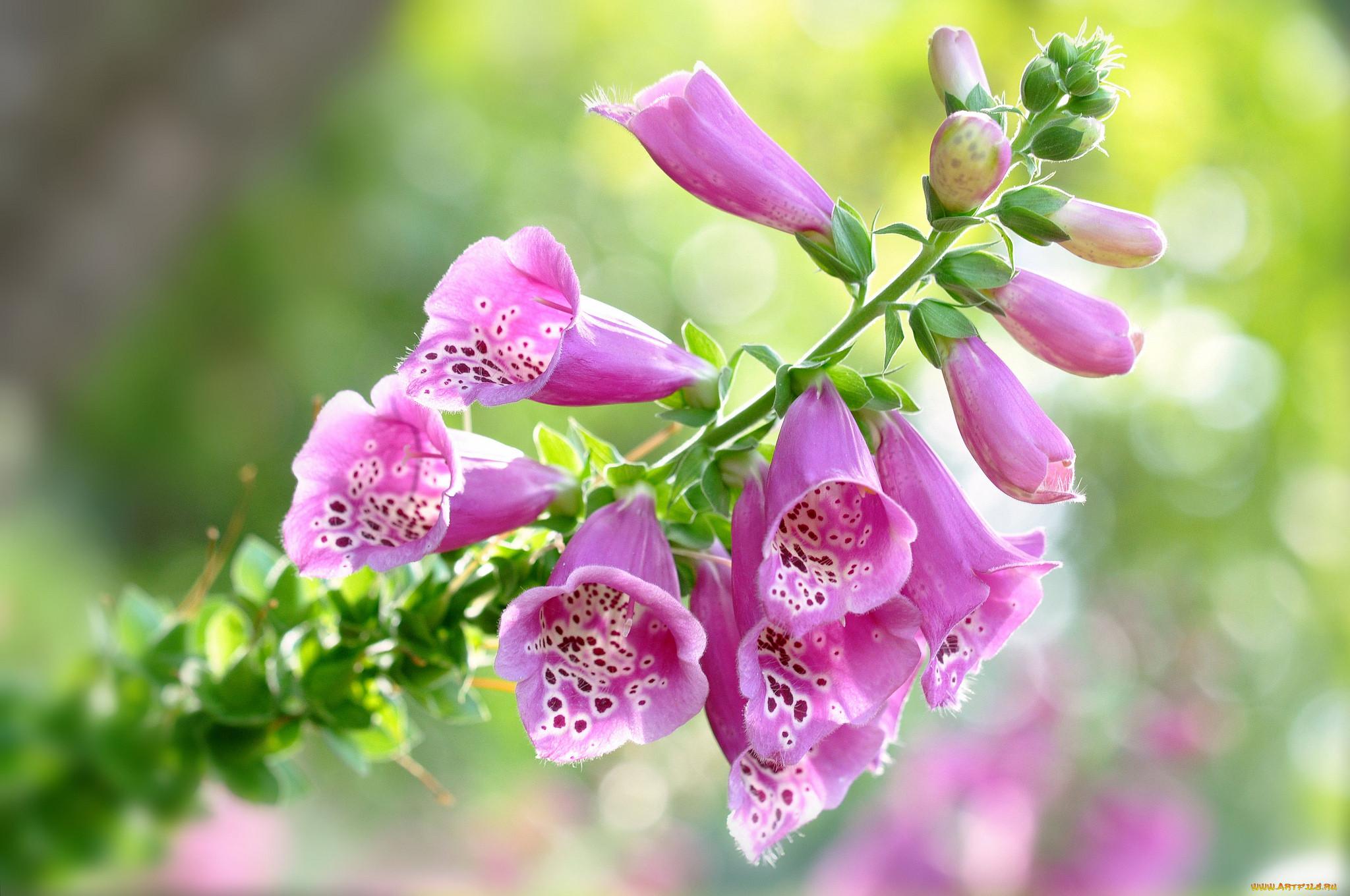 цветы, дигиталис наперстянка, наперстянка